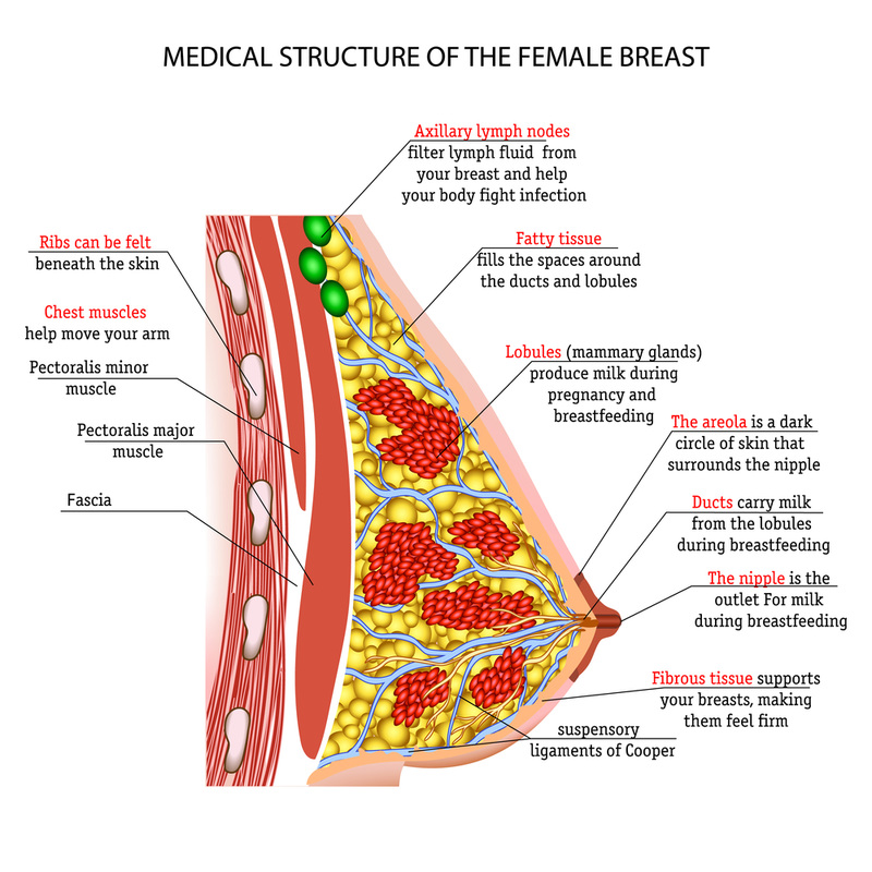 Breast Tissue Anatomy & Physiology 101 - JACKIE BELL NATURAL HEALTH