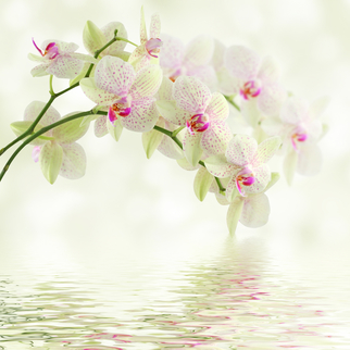 White orchids overhanging pool of water