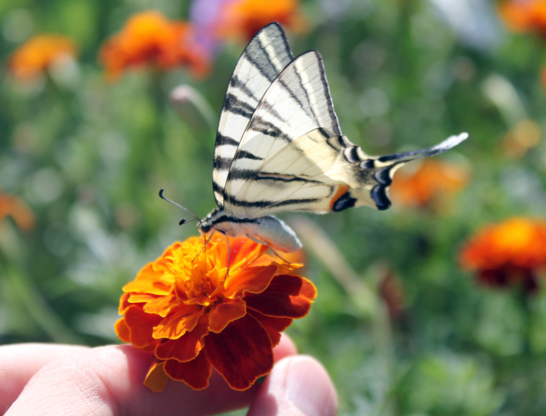 Butterfly resting on marigold flower