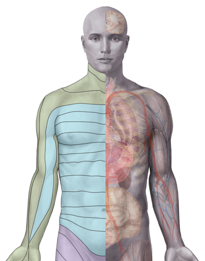 Image of skin dermatomes and connected organs by Alfa Thermodiagnostics, Inc.
